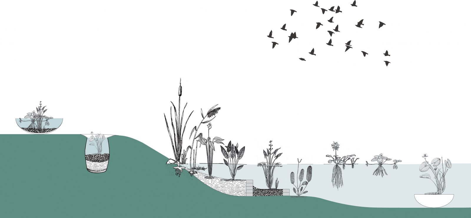 A cross section presenting the placement of aquatic plants in and outside a pond, Centrala 2020